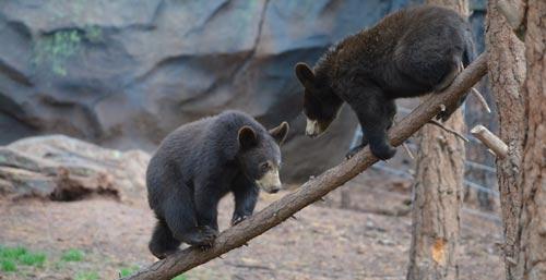 Bearizona cubs playing