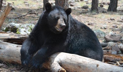 Bearizona bear relaxing on fallen log