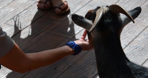 Petting goat at Bearizona in WIlliams AZ