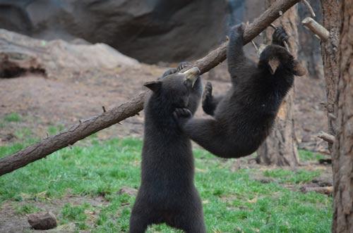 Silly bear cubs playing at Bearizona park