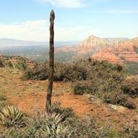 century plant stalk